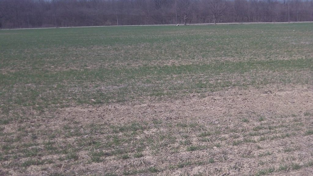 Figure 1. Freeze thaw events during the winter months resulted in heaving plants in this shallow planted winter wheat field on heavy clay ground.  Plant stand counts were significantly reduced. Photo courtesy of Chad Anderson.