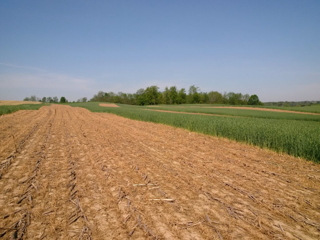 cereal rye,cover crop