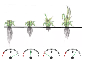 Forage plants regrow by drawing on energy reserves in their roots