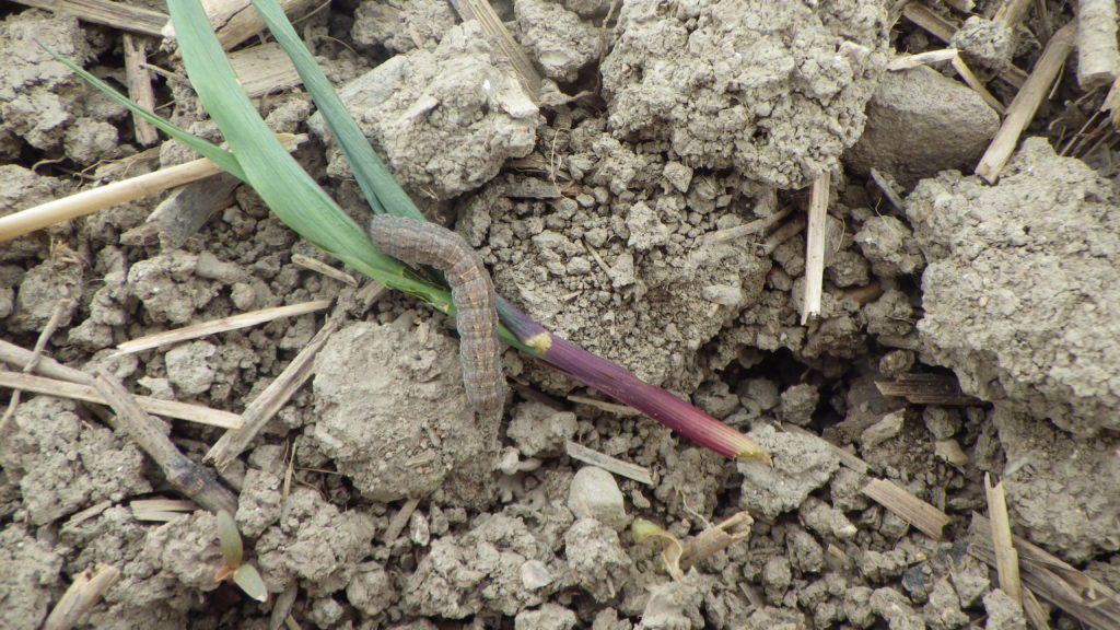 black cutworm cutting corn plant off