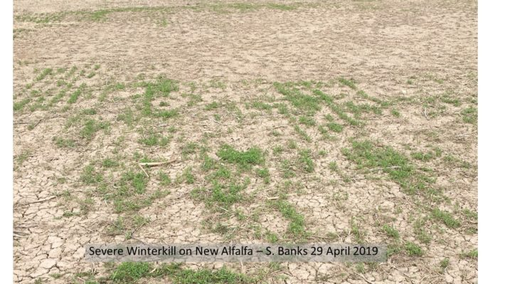 Figure 4. Alfalfa winter kill observed in eastern Ontario during the week of April 29, 2019.