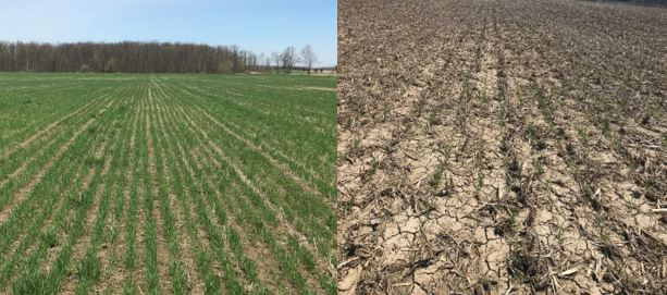 Figure 2.  Differences in Wheat Fields Seen Across Ontario