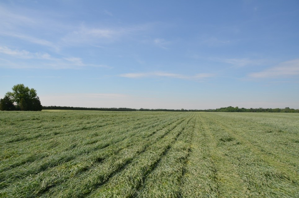 cereal rye field shortly after terminating with a roller crimper.