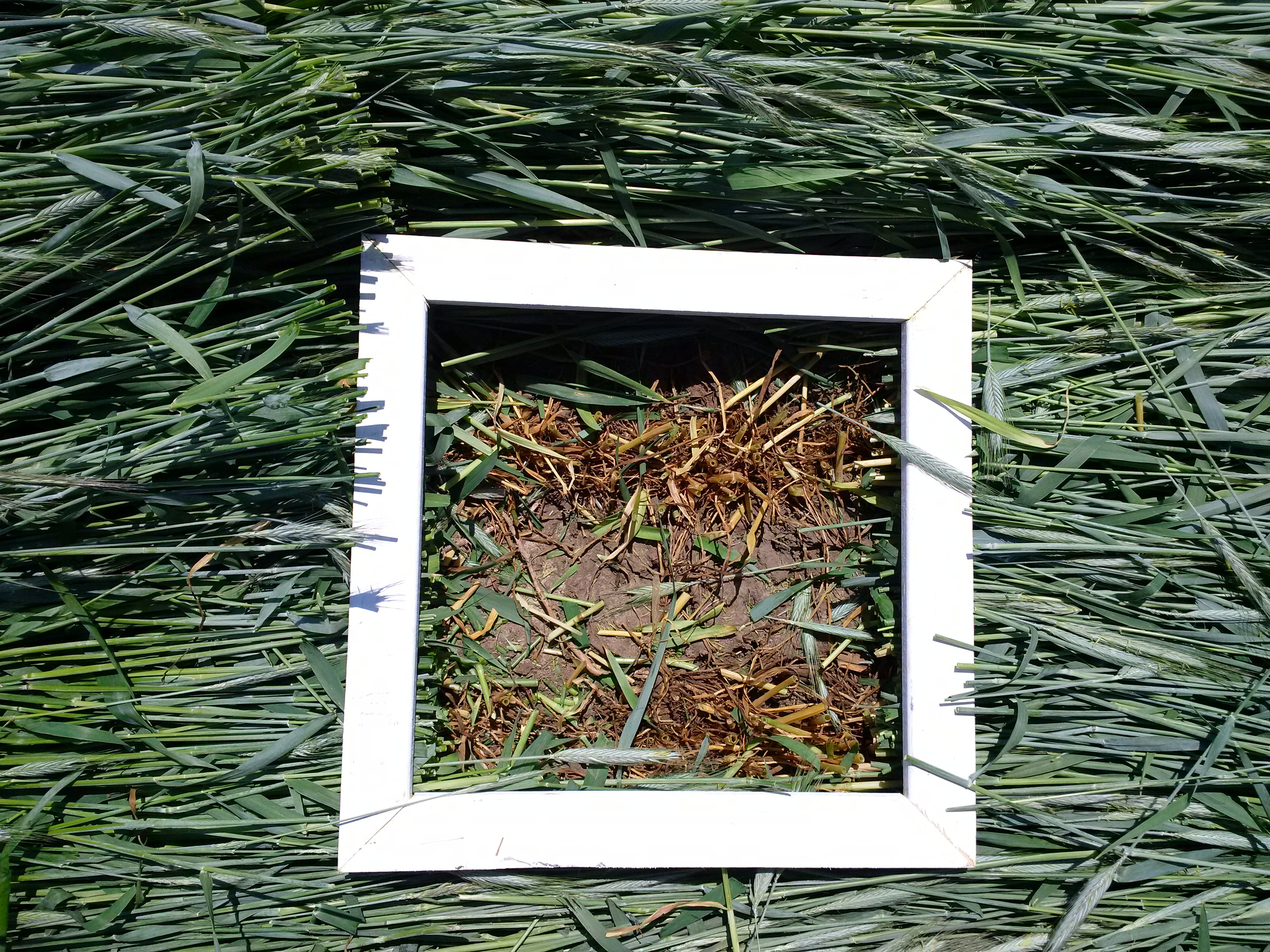 A wooden frame measuring 1 square foot, laid over top of the cereal rye to collect a biomass sample.