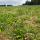 Image of pasture damaged by armyworms. All the grasses have been eaten, leaving only broadleaf weeds behind.