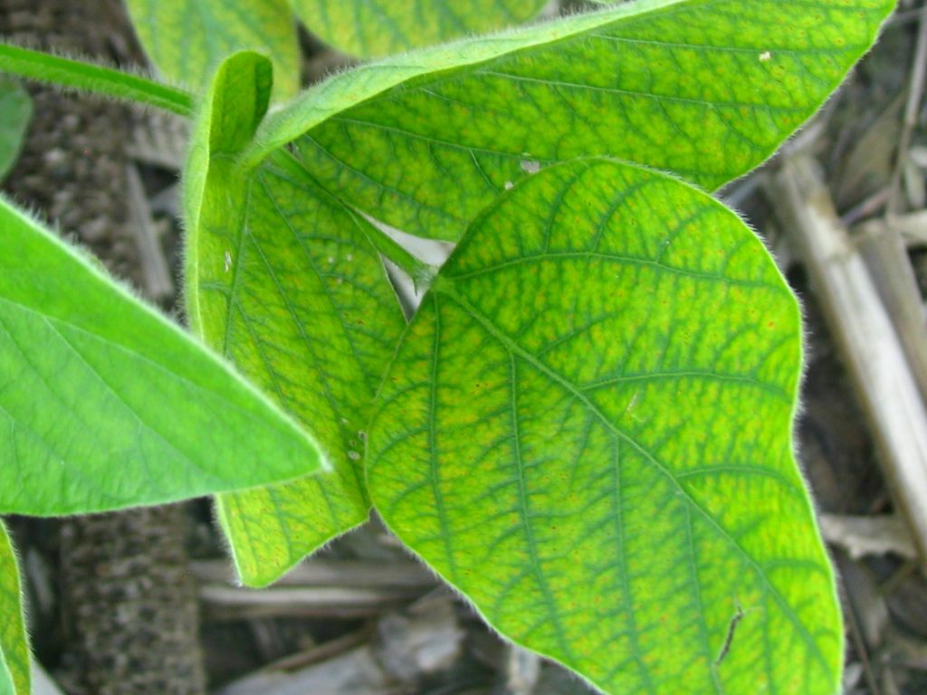 Figure 3. Magnesium deficient soybean leaf showing green veins and yellowing leaf