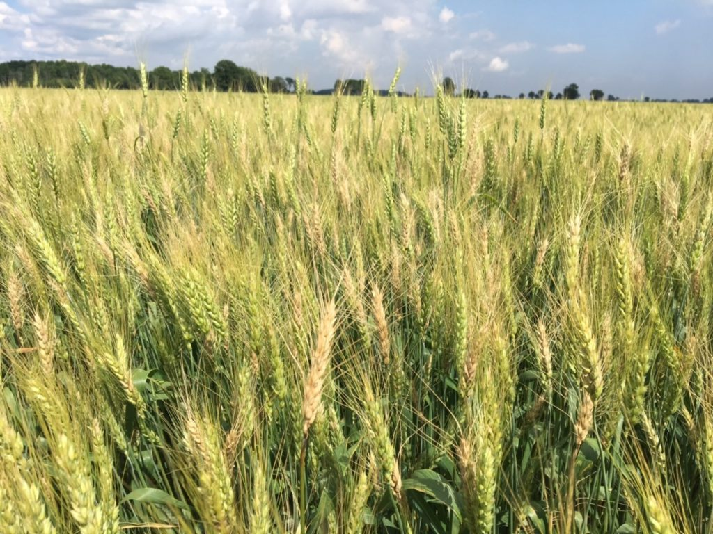Figure 1. Bleached grain heads in a field of winter wheat starting to mature, an indication that FHB may be an issue in that field. Photo courtesy of Jeff Jacques.