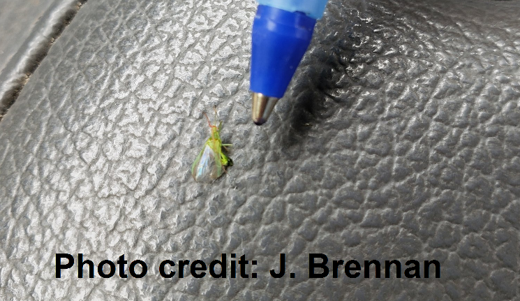 Potato leafhopper next to the tip of a ballpoint pen for scale
