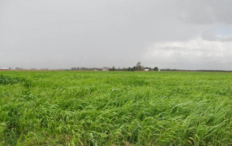 Field of sorghum and sudangrass