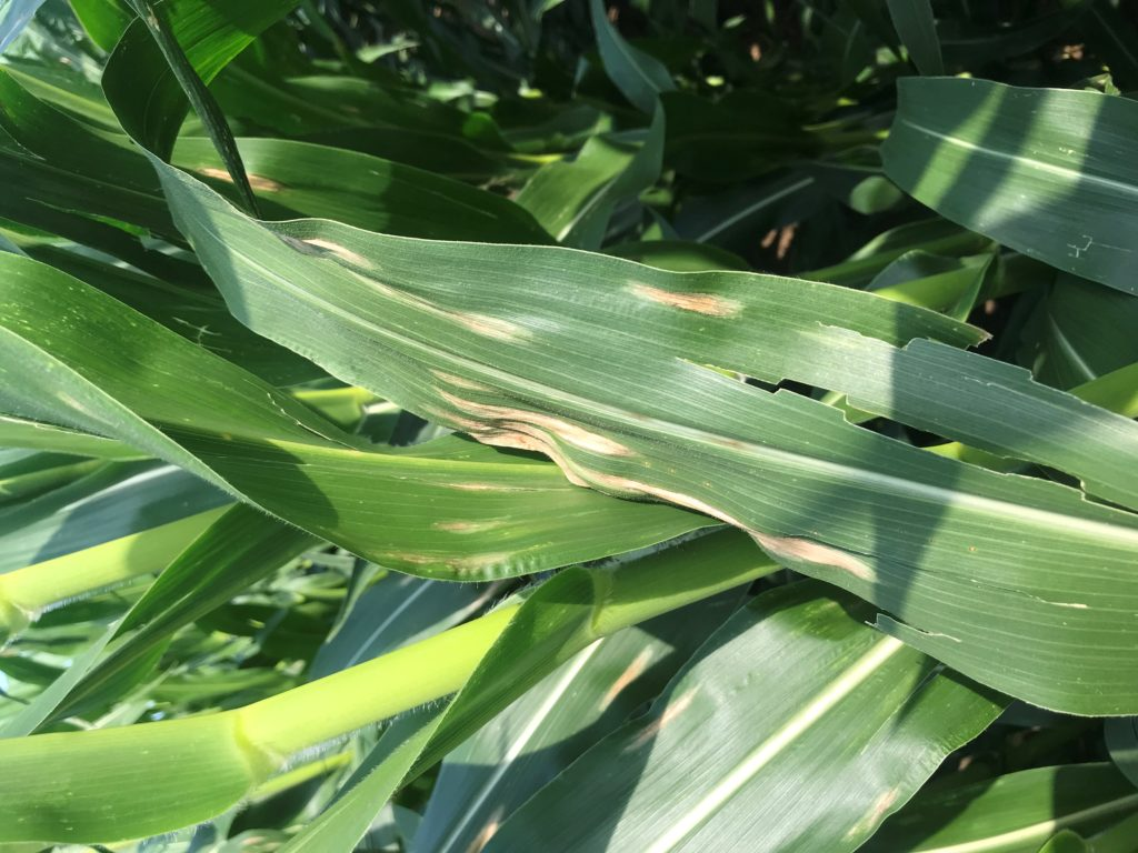 Figure 3. Northern corn leaf blight oval, elongated lesions