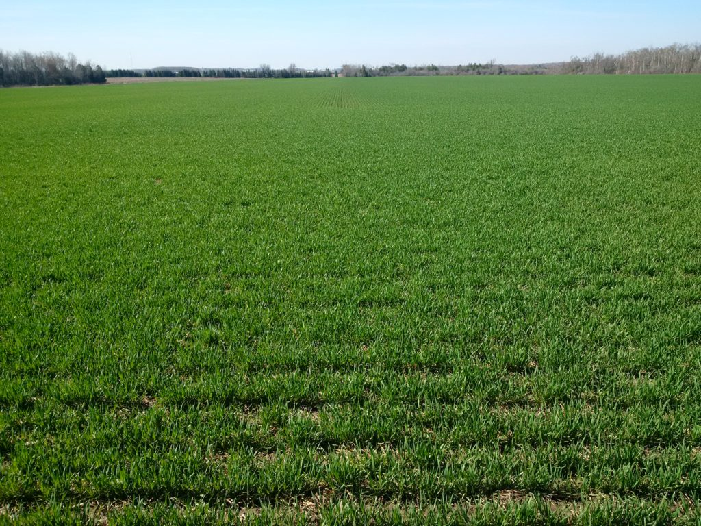 Figure 1. Winter wheat field in April