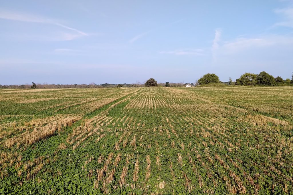 Figure 2. Red clover cover crop in wheat stubble. August 21, 2019. Smithville, Ontario