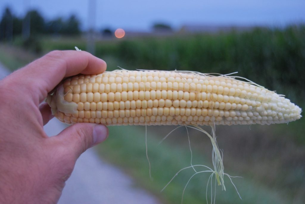 Figure 1. Mid-June planted corn in the milk stage, August 26, 2019
