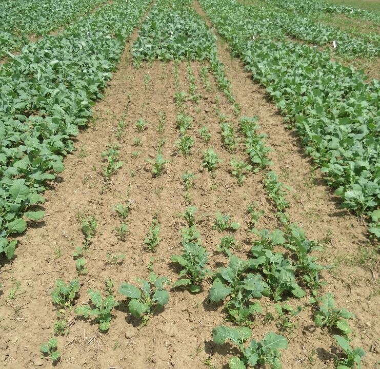 Figure 1. The canola plot at center did not receive pre-plant sulphur, resulting in slow growth and significant flea beetle damage causing a reduced plant population. Neighbouring plots had adequate fertilizer. All plots had one application of insecticide for flea beetle control.