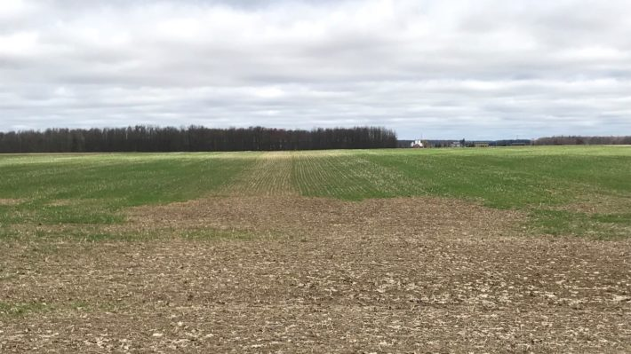 Figure 2: A common site in 2019, winter wheat fields with large bare spots that had to be seeded with a cover crop or spring cereal to help with erosion and weed control.