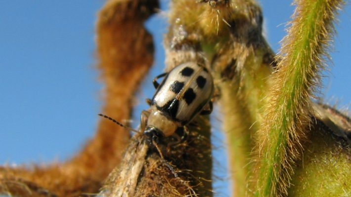 Figure 2.  Beetle feeding on pods which can lead to significant seed quality issues.