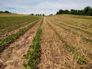 soybeans in rye mulch