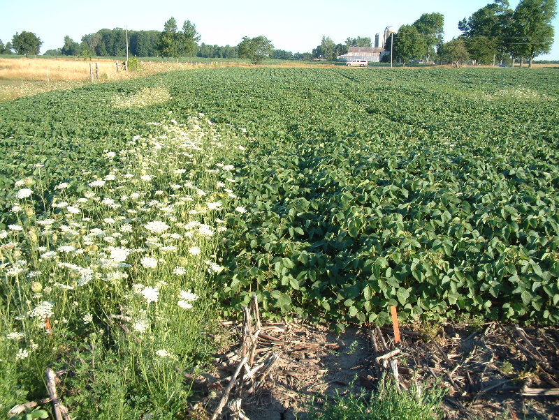 a picture of a soybean field where a strip of wild carrot was left un-sprayed on the left, while the right hand side received a pre-plant application of Guardian herbicide.