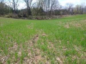 green cover crop at lowest part of field, with a berm in the background