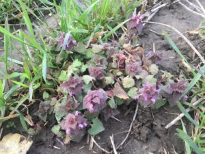 Purple dead-nettle (lamium purpureum) flowering at the beginning of May in a winter wheat field.
