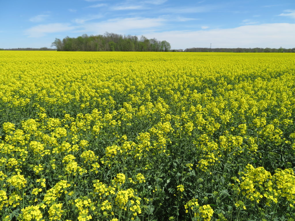 Figure 1. Winter canola in Southern Ontario in full bloom, ready for a fungicide application for white mold control.