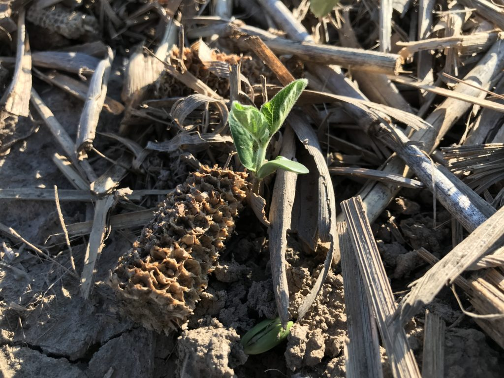Image 1: uneven soybean emergence through heavy corn residue. Photo: Christine Brown, OMAFRA