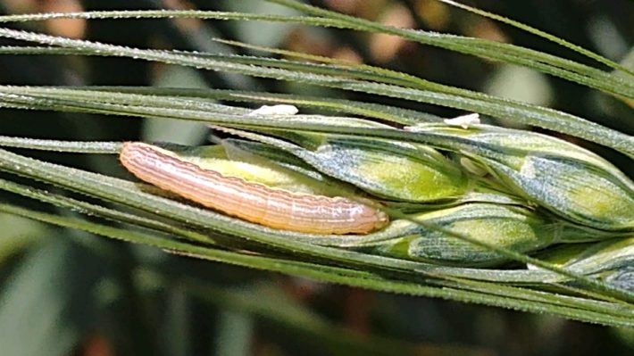 Figure 1. Young true armyworm larvae in wheat head. Larvae are in a range of sizes in many fields. Photo credit: Samuel Adams, OMAFRA summer student.