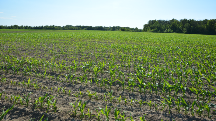 """Initial planting in corn field which had been partially replanted due to poor and variable emergence."""