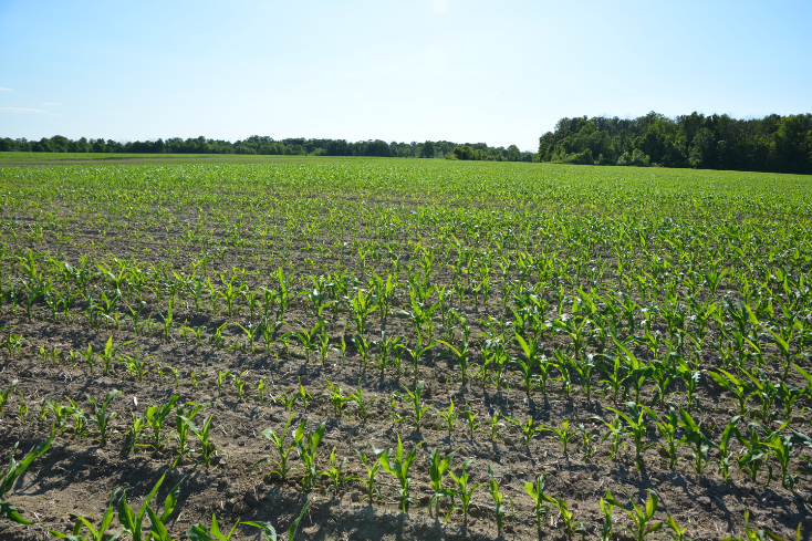 """""""Initial planting in corn field which had been partially replanted due to poor and variable emergence."""""""