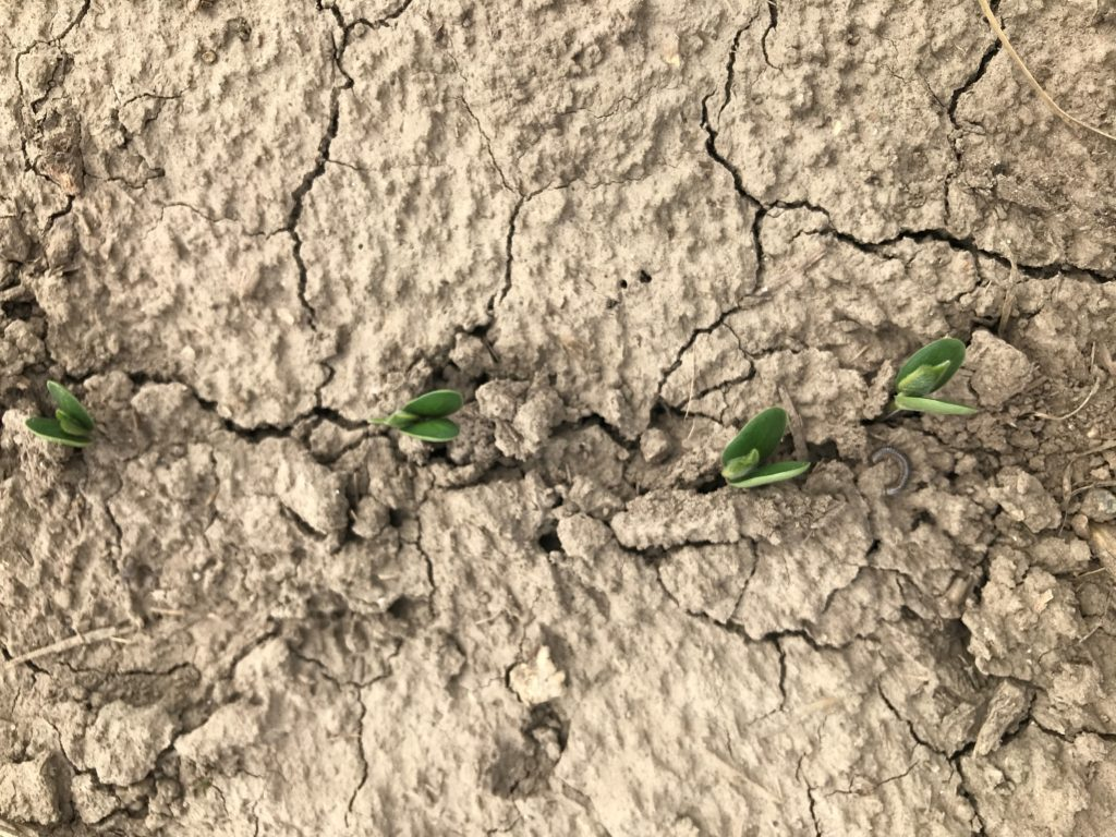 Picture 1: Soybeans struggling to emerge due to soil crusting.
