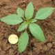 A ten-leaf hairless seedling plant with narrower, wavy margined leaves compared to other pigweed species.