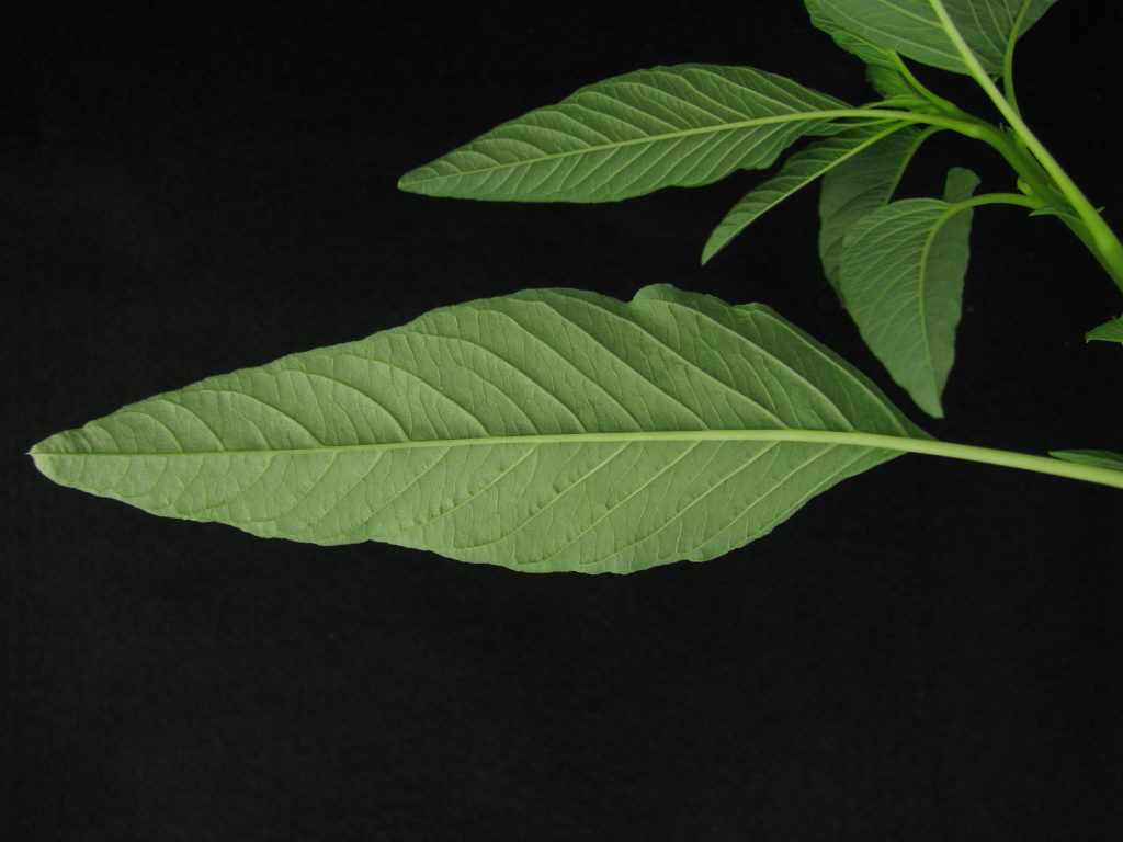 A close-up of a mature and narrow waterhemp leaf