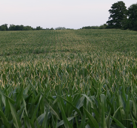 Figure 1. Corn leaf burn associated with dry nitrogen sources applied with spinner spreaders. Leaf burn is concentrated on the margins. Heavier swath of burn resulting from dusty dry nitrogen product that does not spread uniformly.