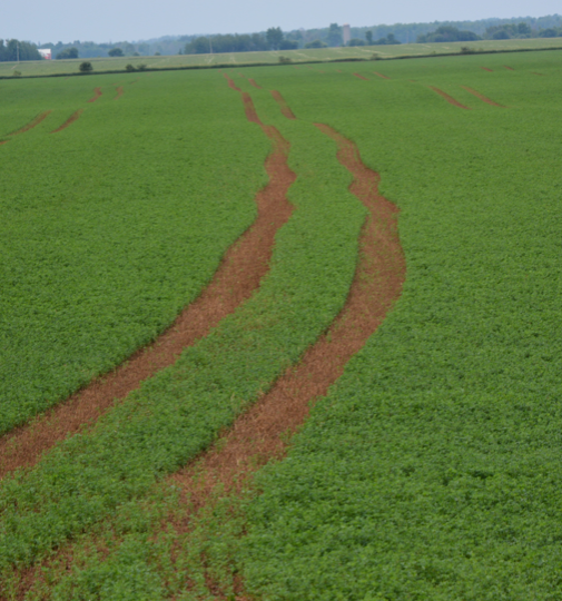 Figure 2.  Delayed manure application on harvested forage stands can cause significant injury and yield loss.