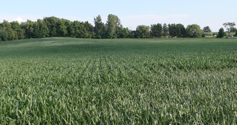 Figures 4 and 5. Response of corn to heat and moisture stress in adjoining fields.