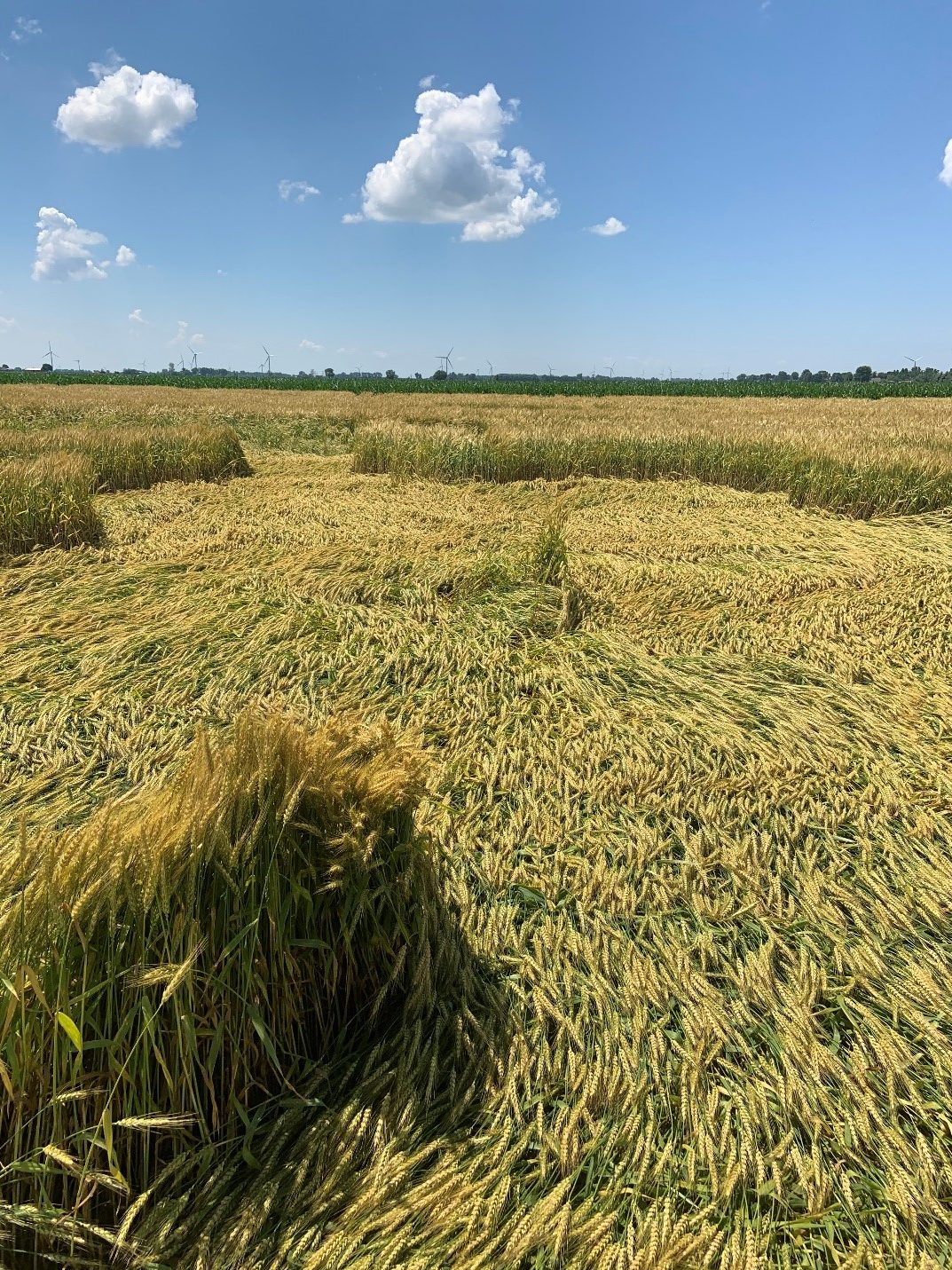 Lodged winter wheat field that will require some combine and in-field adjustments to get the crop successfully harvested.