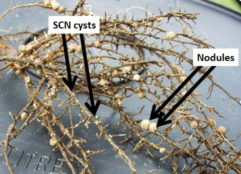 Figure 1. Soybean Cyst Nematode on Soybeans