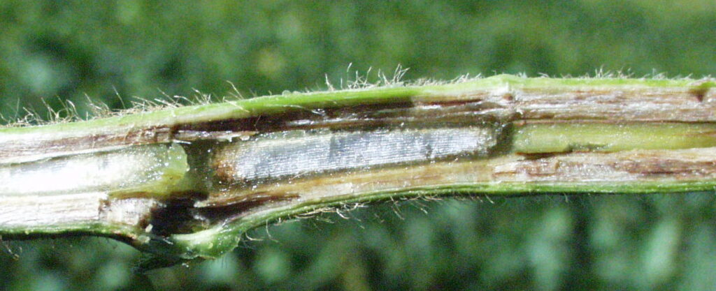 Figure 7: Browning of the stem due to SDS infection. Note the pith remains white.