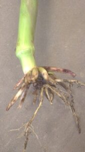 Figure 1: Root injury from corn rootworm larval feeding. Jocelyn Smith, UGRC.
