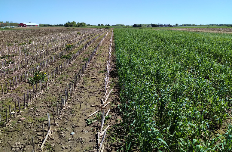 Figure 1. Rye seeded after corn silage