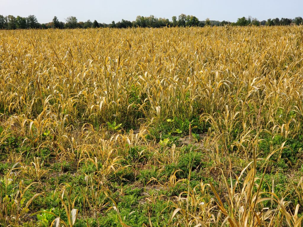 sorghum-sudangrass after a frost