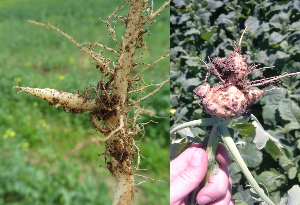 Figure 2. Stems that cracked during late spring frosts did not lodge or appear diseased (Photo: July 2, 2020)