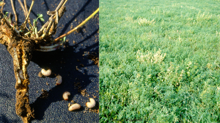 Figure 1. Alfalfa Snout beetle damage