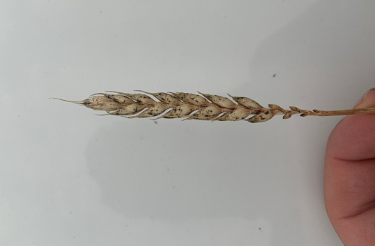 Figure 1: Black sooty mould observed in winter wheat. Fields that were already affected by disease, drought (tillers died prematurely) or aphid infestation were predisposed to this fungus.