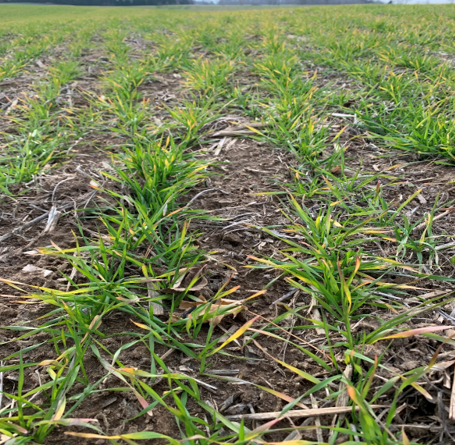 Figure 2: A common sight in 2020, winter wheat fields with red, yellow or purple looking plants due to temperature fluctuations and restricted root growth.