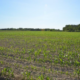 Figure 1. Variable corn stand in part of field planted May 4, 2020.