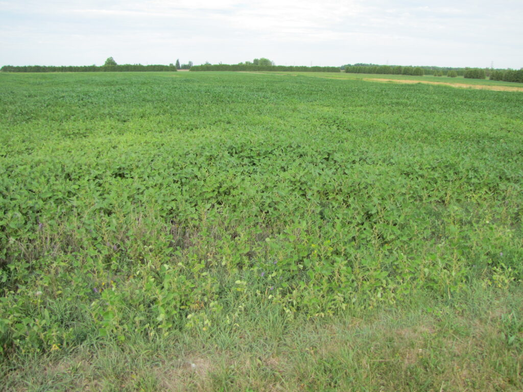 Figure 1: Spider mite damage causing yellow, stunted plants along a field edge. Image: H. Bohner