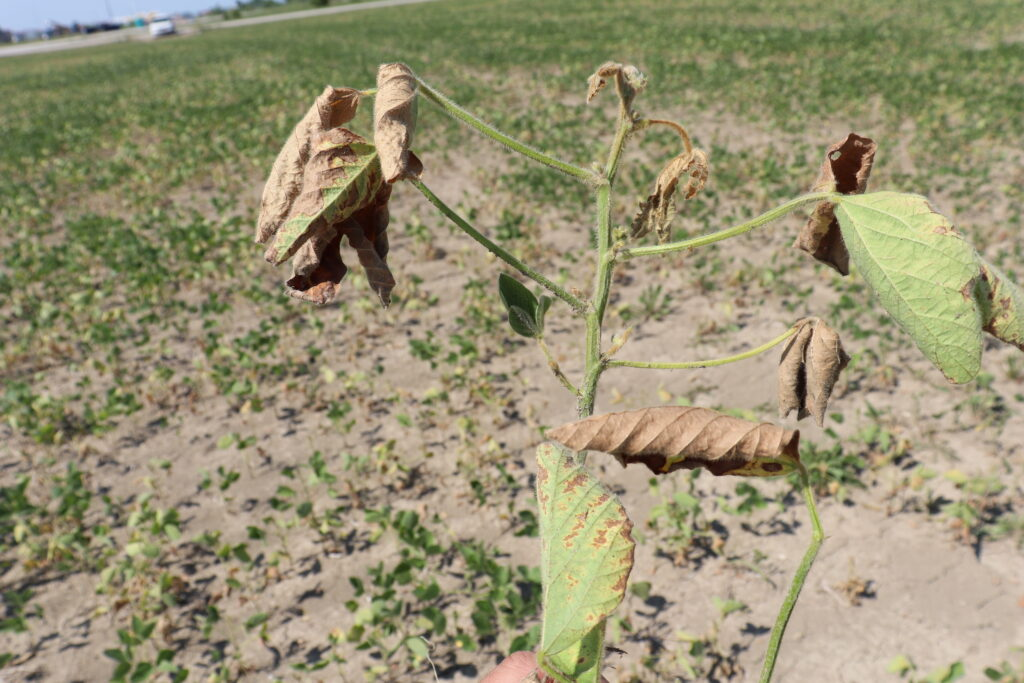 Figure 2. Soybean stem tips wilting is a symptom of Fusarium root rot and wilt. Image: D. Mueller