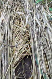 rye mulch interfering with soybean seeding