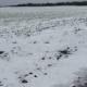 Figure 1. April 21, 2021: Snow on alfalfa established in 2020